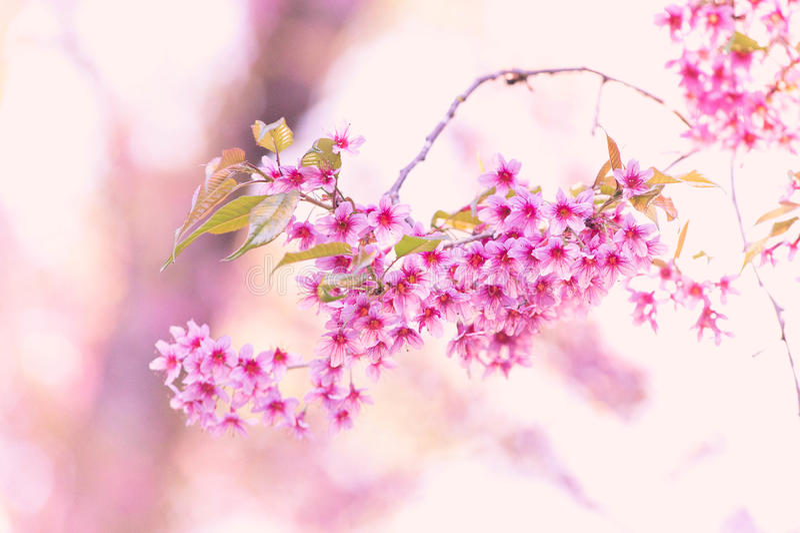 De bloeiende bloesem van de Sakurabloem in Pangkhon-rai van bergchiang, stock afbeelding