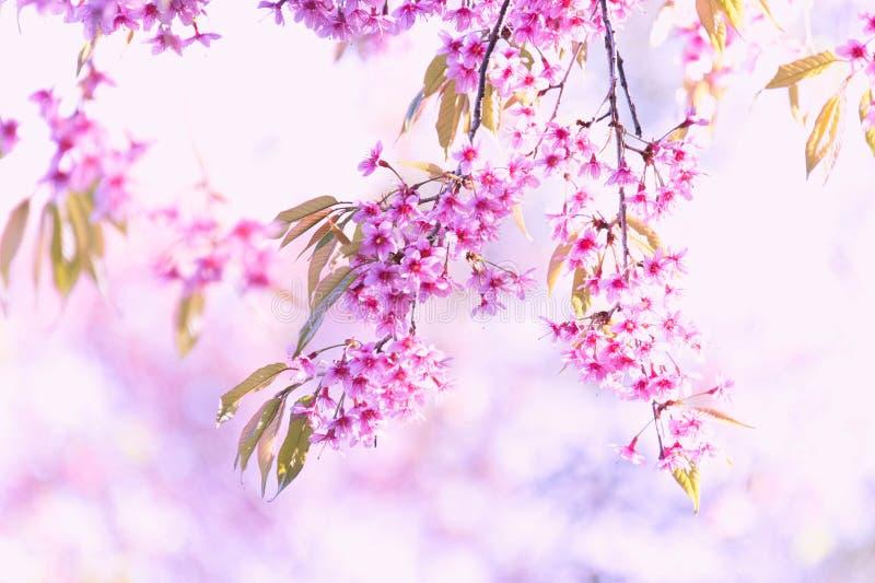 De bloeiende bloesem van de Sakurabloem in Pangkhon-rai van bergchiang, stock foto's