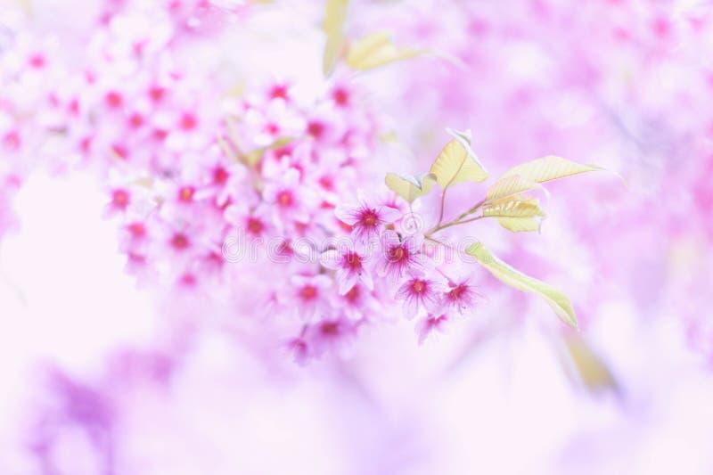 De bloeiende bloesem van de Sakurabloem in Pangkhon-rai van bergchiang, stock afbeeldingen