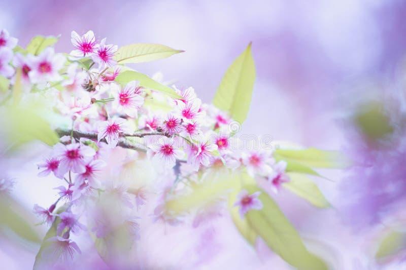 De bloeiende bloesem van de Sakurabloem in Pangkhon-rai van bergchiang, stock foto