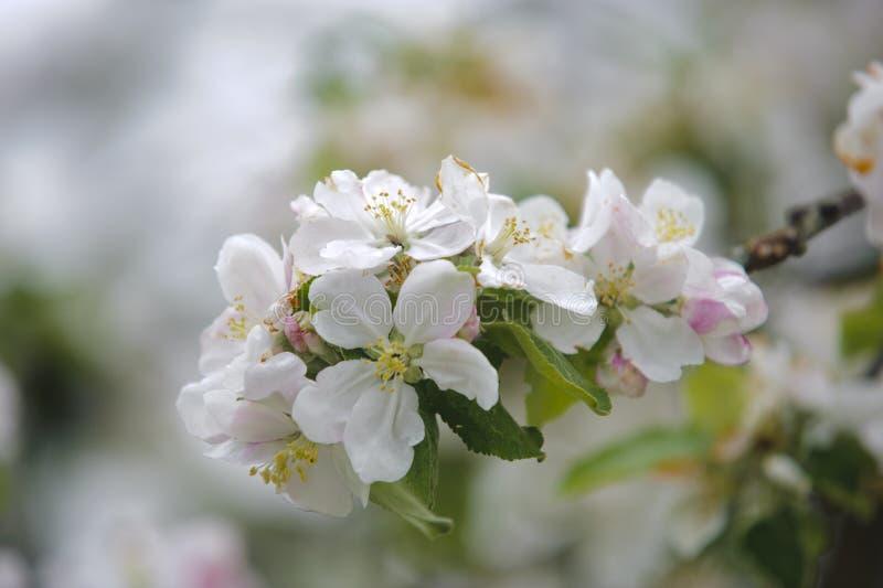 De bloeiende Boom van de Appel stock afbeeldingen