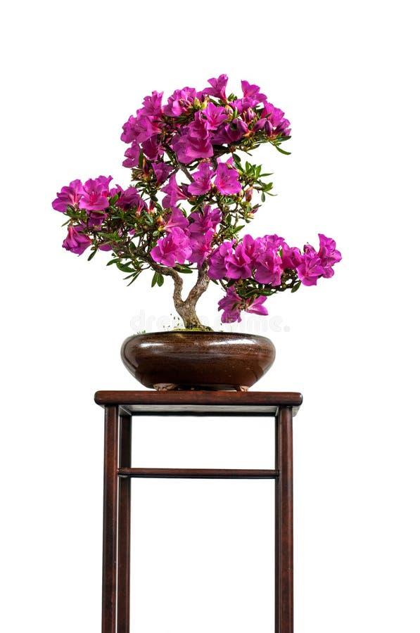 De bloeiende boom van de azaleabonsai op een plank stock afbeeldingen