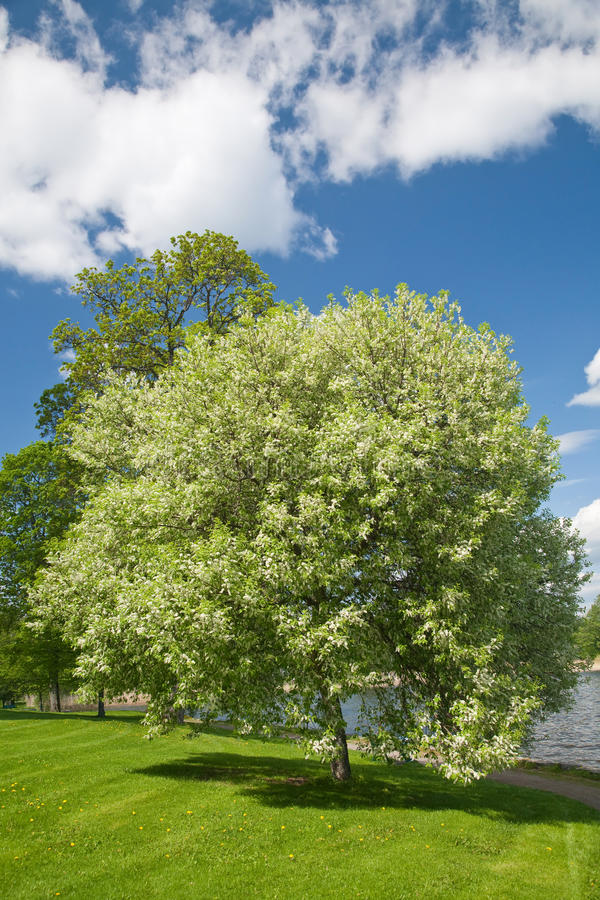 De bloeiende boom van de vogelkers stock foto
