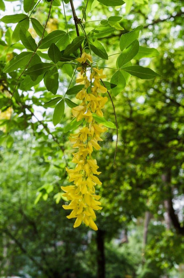 De bloeiende boom van de kassieboomfistel, die met gele bloemen zoals een gouden regen wordt behandeld stock foto's