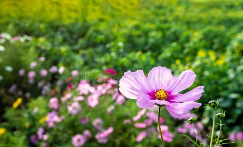 De bloeiende gele hearted roze installatie van de tuinkosmos bij de rand van een Nederlands gebied in het begin van het dalingsse royalty-vrije stock foto's