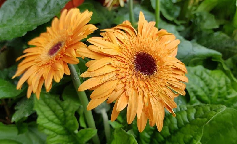 De bloeiende heldere en vrolijke bloem van het gerberamadeliefje royalty-vrije stock foto