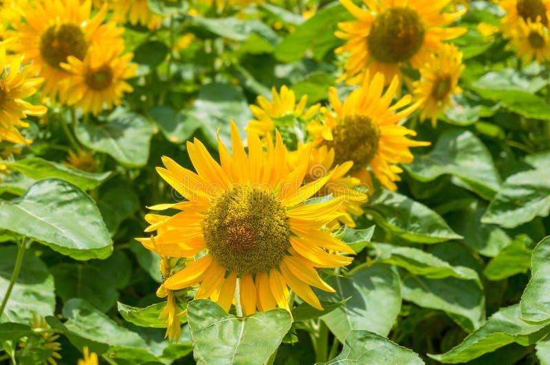 De bloeiende heldere gele bloemenachtergrond van de zonnebloemenaard stock foto