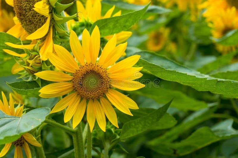 De bloeiende heldere gele bloemenachtergrond van de zonnebloemenaard royalty-vrije stock foto's