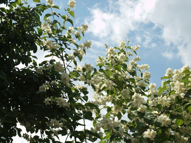 De bloeiende jasmijnstruik tegen de achtergrond van een de zomer blauwe hemel met het drijven betrekt royalty-vrije stock afbeeldingen