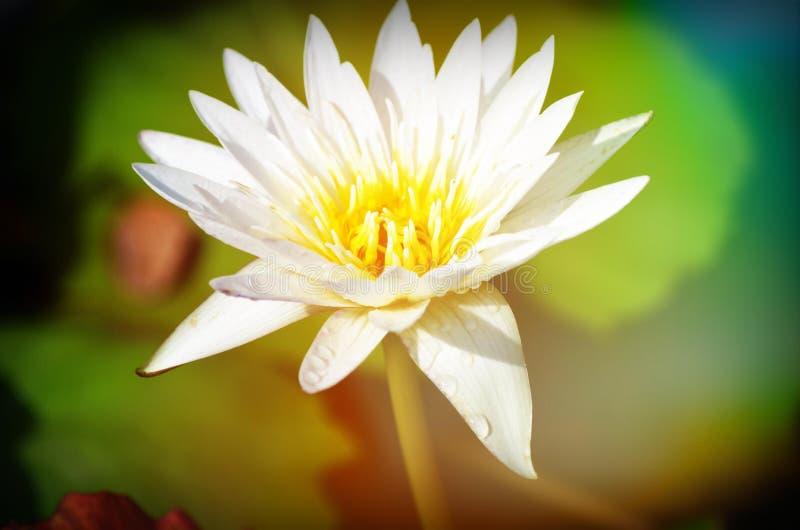 De bloeiende lotusbloembloemen in close-up stock foto's