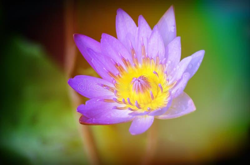 De bloeiende lotusbloembloemen in close-up stock afbeeldingen
