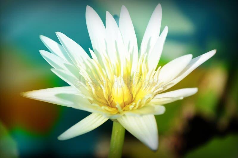 De bloeiende lotusbloembloemen in close-up stock fotografie
