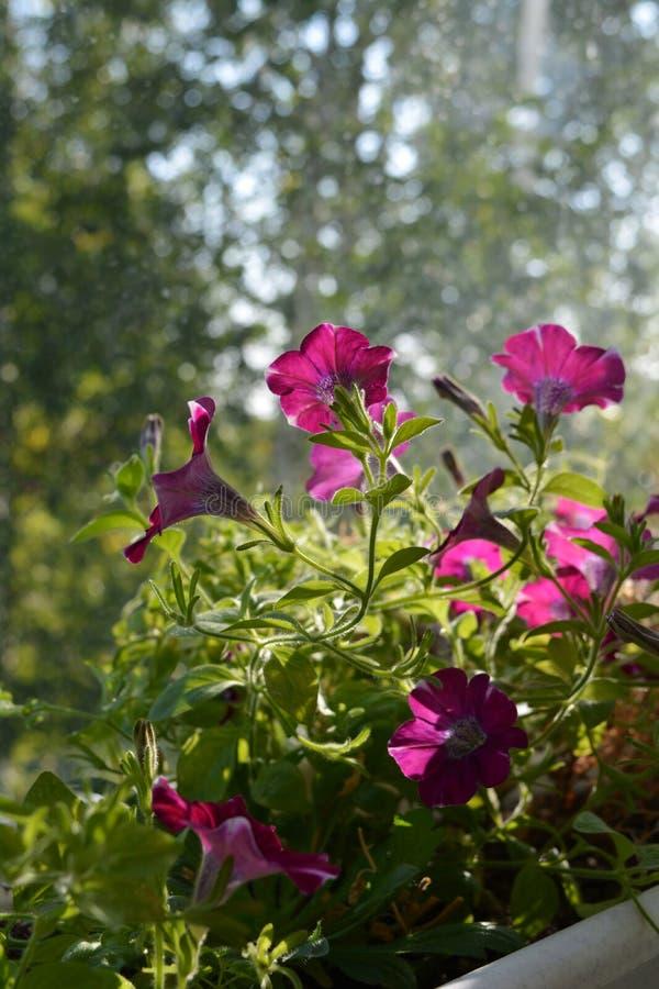 De bloeiende petunia groeit in bloempot Heel wat mooie bloemen zouden tot uw balkon een kleine stedelijke tuin maken stock fotografie