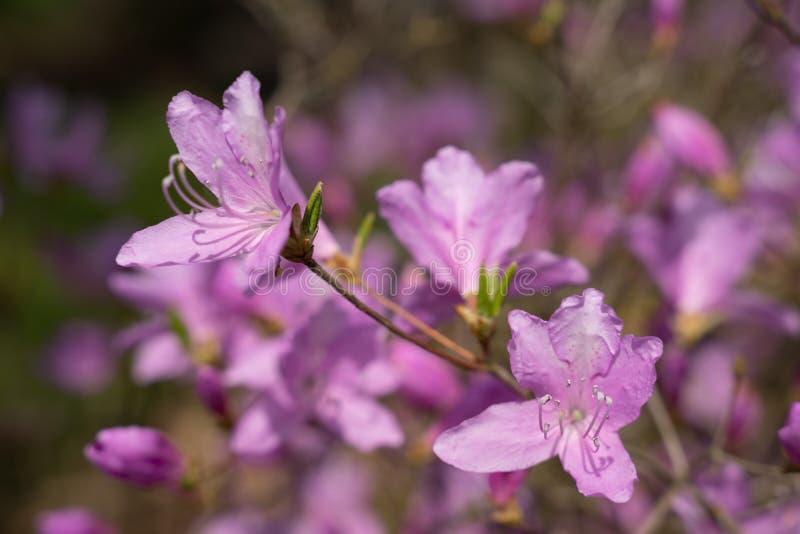 De bloeiende purpere Azalea, een lid van de soort Rododendron, struik bloeit stock afbeeldingen