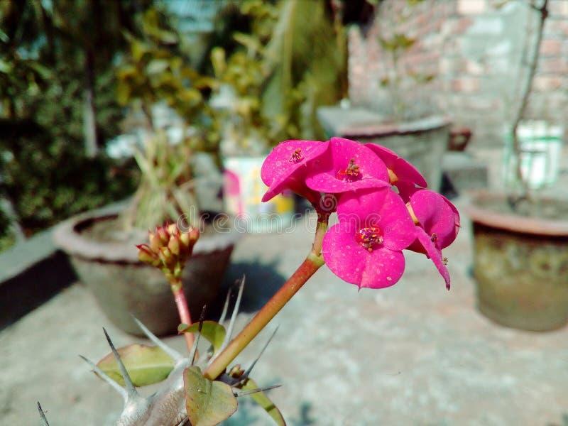 De bloeiende roze bloem van de kleurencactus met natuurlijke Achtergrond stock fotografie