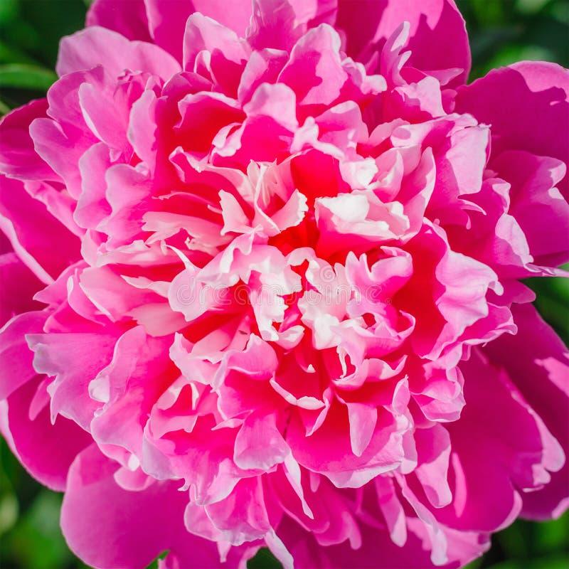 De bloeiende roze close-up van de pioenbloem royalty-vrije stock foto's