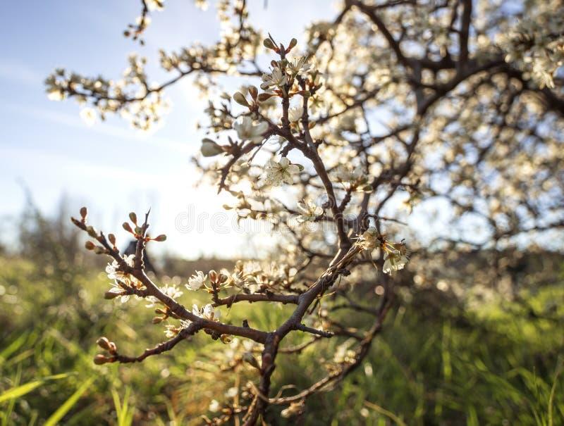 De bloeiende sleedoorn van doornbush, Prunus-spinosa in de warme de lentezon in Griekenland royalty-vrije stock afbeelding