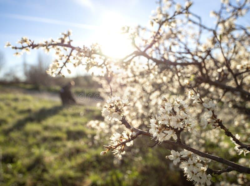 De bloeiende sleedoorn van doornbush, Prunus-spinosa in de warme de lentezon in Griekenland stock afbeeldingen