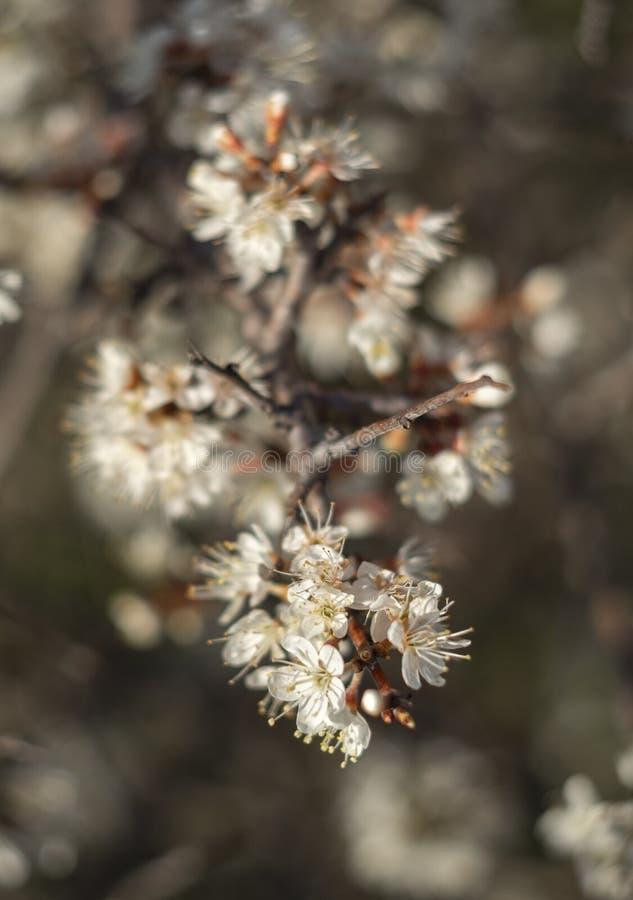 De bloeiende sleedoorn van doornbush, Prunus-spinosa in de warme de lentezon in Griekenland royalty-vrije stock afbeeldingen