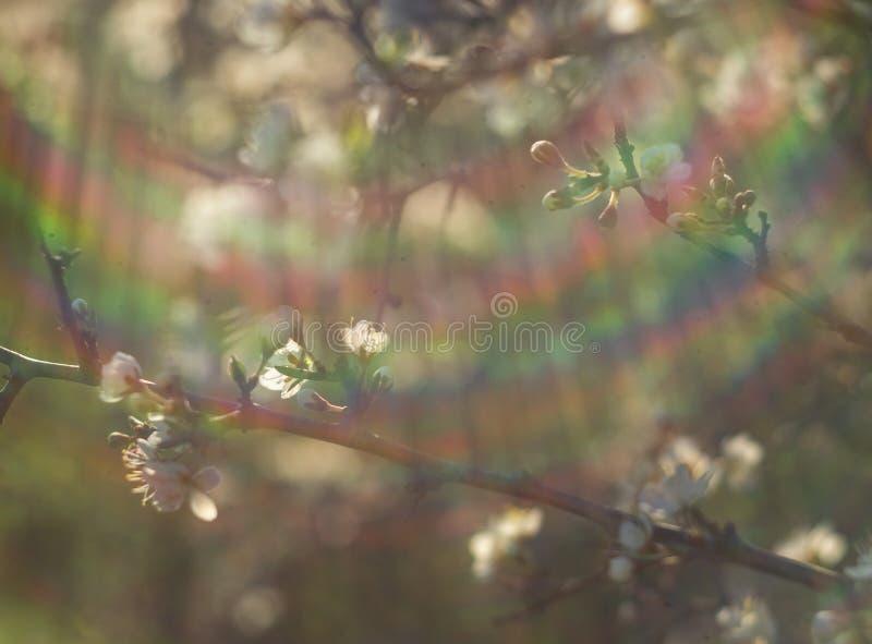 De bloeiende sleedoorn van doornbush, Prunus-spinosa in de warme de lentezon in Griekenland royalty-vrije stock foto