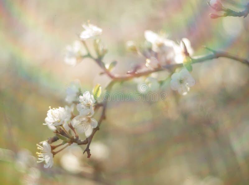 De bloeiende sleedoorn van doornbush, Prunus-spinosa in de warme de lentezon in Griekenland stock afbeelding