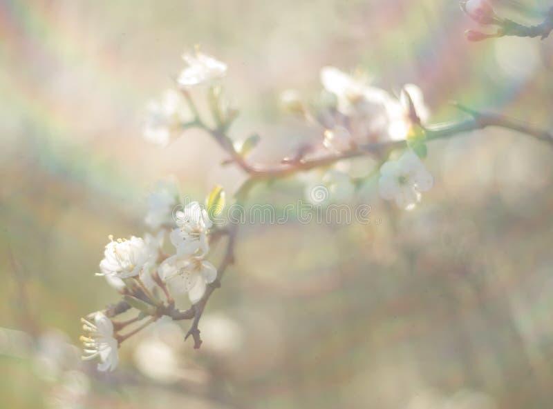 De bloeiende sleedoorn van doornbush, Prunus-spinosa in de warme de lentezon in Griekenland royalty-vrije stock fotografie