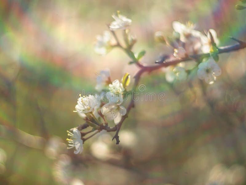 De bloeiende sleedoorn van doornbush, Prunus-spinosa in de warme de lentezon in Griekenland stock foto