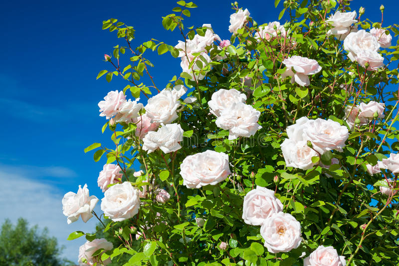 De bloeiende struik van nam bloeiend in roze bloemen toe stock fotografie
