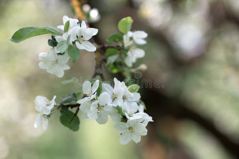 De bloeiende tak van de appelboom royalty-vrije stock afbeeldingen