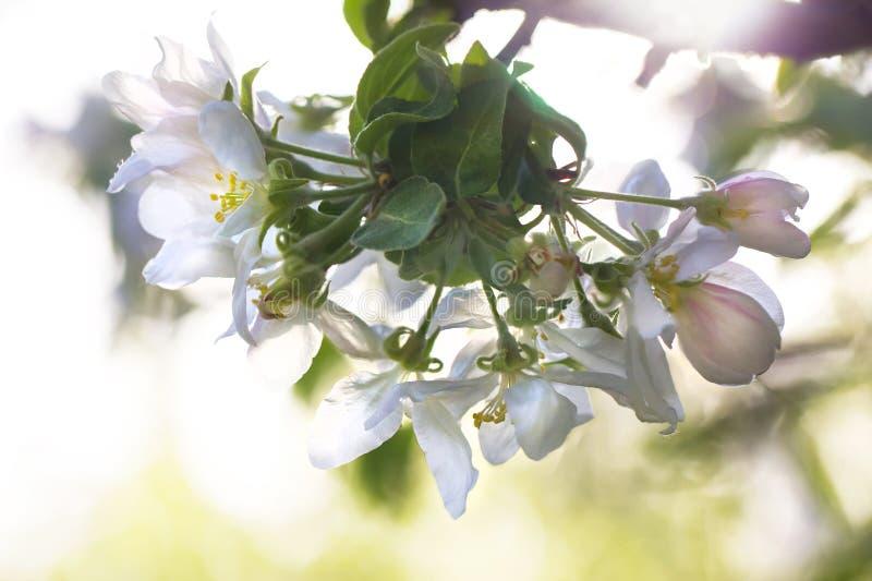 De bloeiende tak van de appelboom in backlight, kleurrijke de lenteachtergrond stock afbeelding
