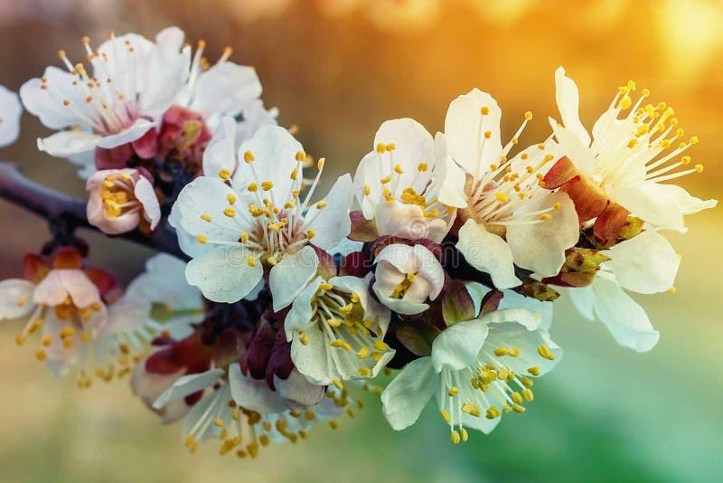 De bloeiende tak van de de lenteboom Kleur van de boom stock foto's