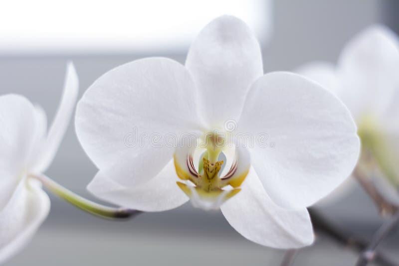 De bloeiende tak van mooie witte orchideebloem met geel centrum isoleerde close-upmacro royalty-vrije stock foto
