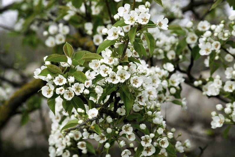 De bloeiende takken van de perenboom in de lente tuinieren, witte bloemen en jong groen gebladerte, achtergrond, achtergrond royalty-vrije stock afbeeldingen