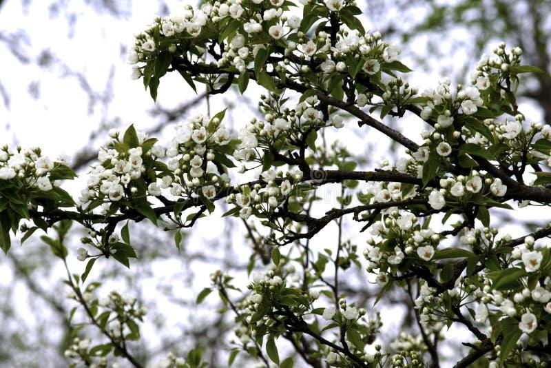 De bloeiende takken van de perenboom in de lente tuinieren, witte bloemen en jong groen gebladerte, achtergrond, achtergrond stock foto's