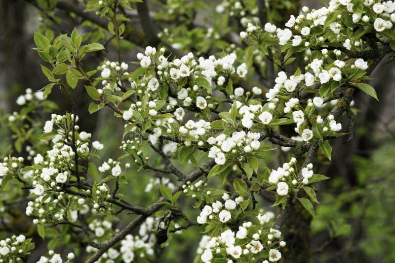 De bloeiende takken van de perenboom in de lente tuinieren, witte bloemen en jong groen gebladerte, achtergrond, achtergrond stock afbeeldingen