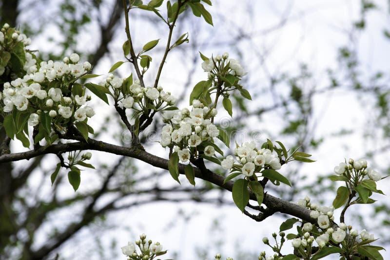De bloeiende takken van de perenboom in de lente tuinieren, witte bloemen en jong groen gebladerte, achtergrond, achtergrond stock fotografie
