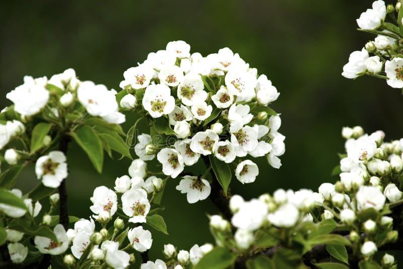De bloeiende takken van de perenboom in de lente tuinieren, witte bloemen en jong groen gebladerte, achtergrond, achtergrond royalty-vrije stock afbeelding