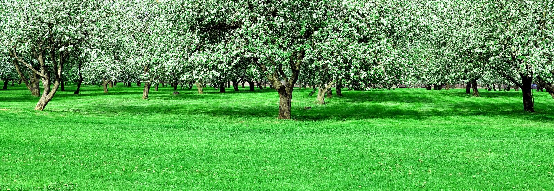 De bloeiende tuin van appelbomen stock afbeeldingen