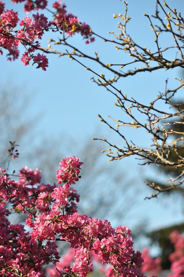 De bloeiende wilde roze fuchsiakleurig purpere boom van de krabappel met blauwe hemelachtergrond en exemplaarruimte royalty-vrije stock foto's