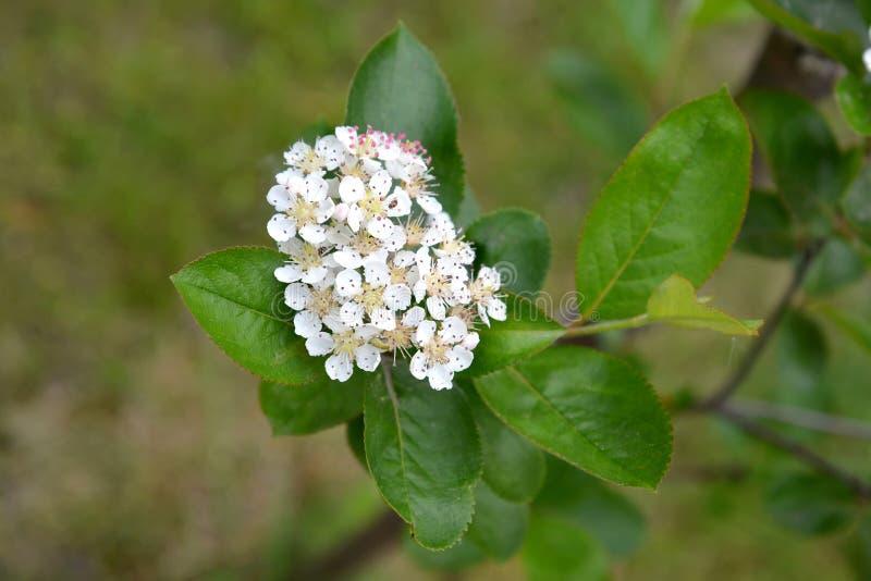 De bloeiwijze van een aroniya (lijsterbes) zwart-fruited (Aronia-melanocarpa (Michx ) Elliott) royalty-vrije stock afbeelding