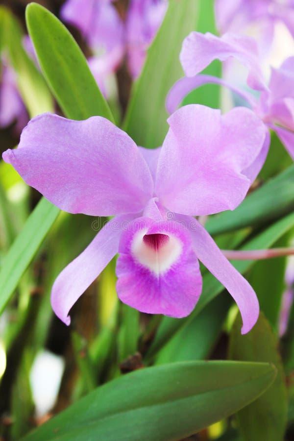 De bloeiwijze van de patronenaard van kleurrijke purpere orchidee bloeit of dendrobium die in tuin bloeien royalty-vrije stock fotografie