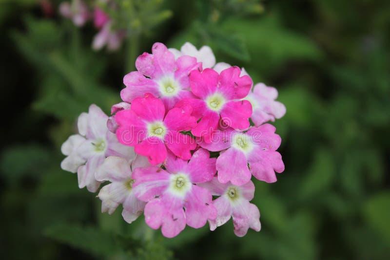 De bloeiwijze van roze viooltjes gebaad in de ochtenddauw van het stadspark Bloeiwijze van roze viooltjes op geïsoleerd royalty-vrije stock afbeeldingen