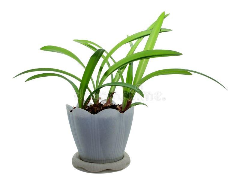De bloem Amaryllis in pot, isoleert witte achtergrond royalty-vrije stock afbeelding