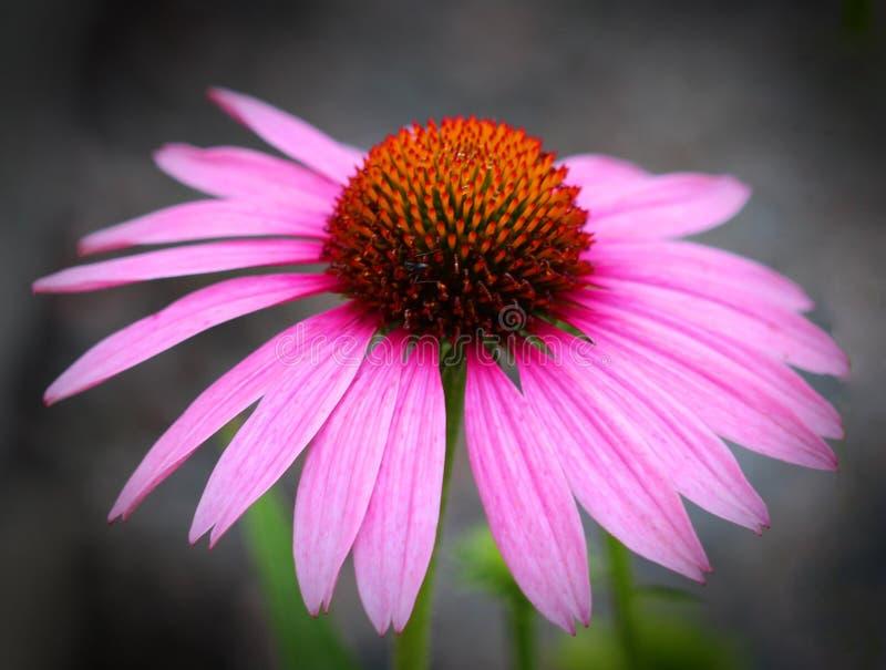 De bloem, Coneflower, Flora, sluit omhoog stock afbeeldingen