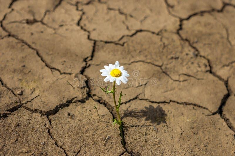 De bloem in de woestijn is droog landmadeliefje
