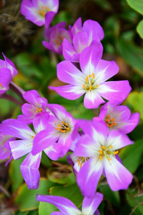 De bloem die van Colchicumspeciosum in de Botanische Tuinen van Christchurch bloeit royalty-vrije stock afbeeldingen