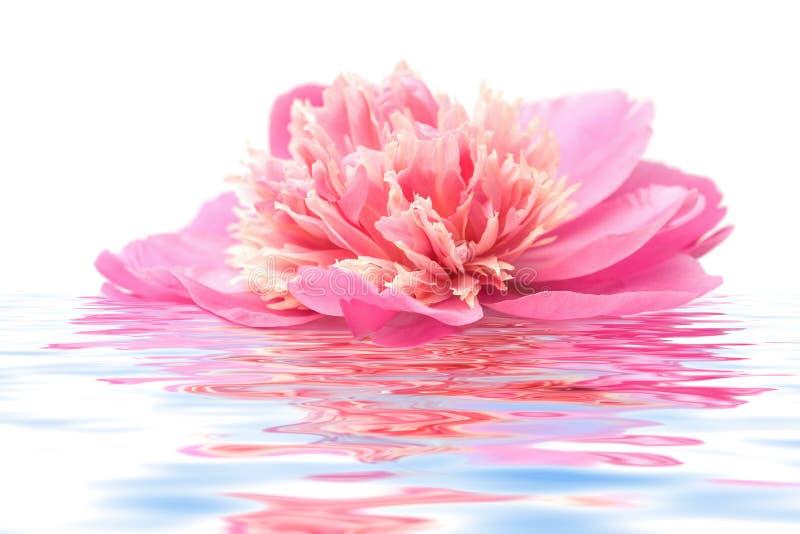 De bloem die van de pioen in geïsoleerdh water drijft royalty-vrije stock afbeeldingen