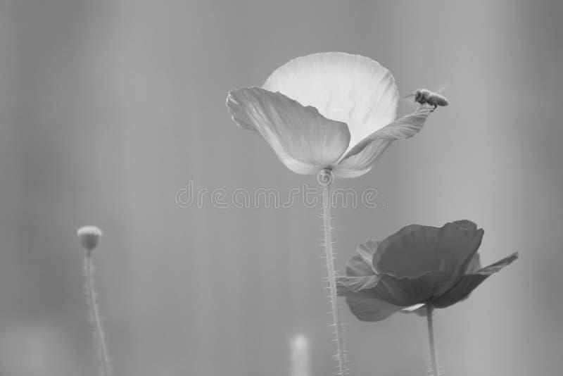 De bloem die van papaverrhoeas met groene achtergrond tot bloei komen stock afbeeldingen