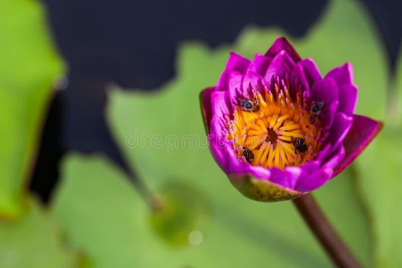 De bloem en de bij van Lotus royalty-vrije stock foto's