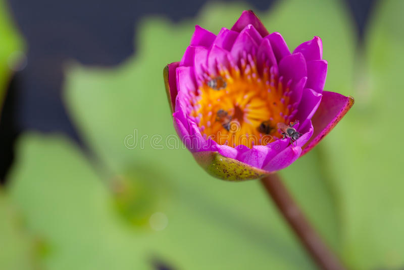 De bloem en de bij van Lotus stock foto